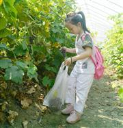 【收获】有机葡萄采摘